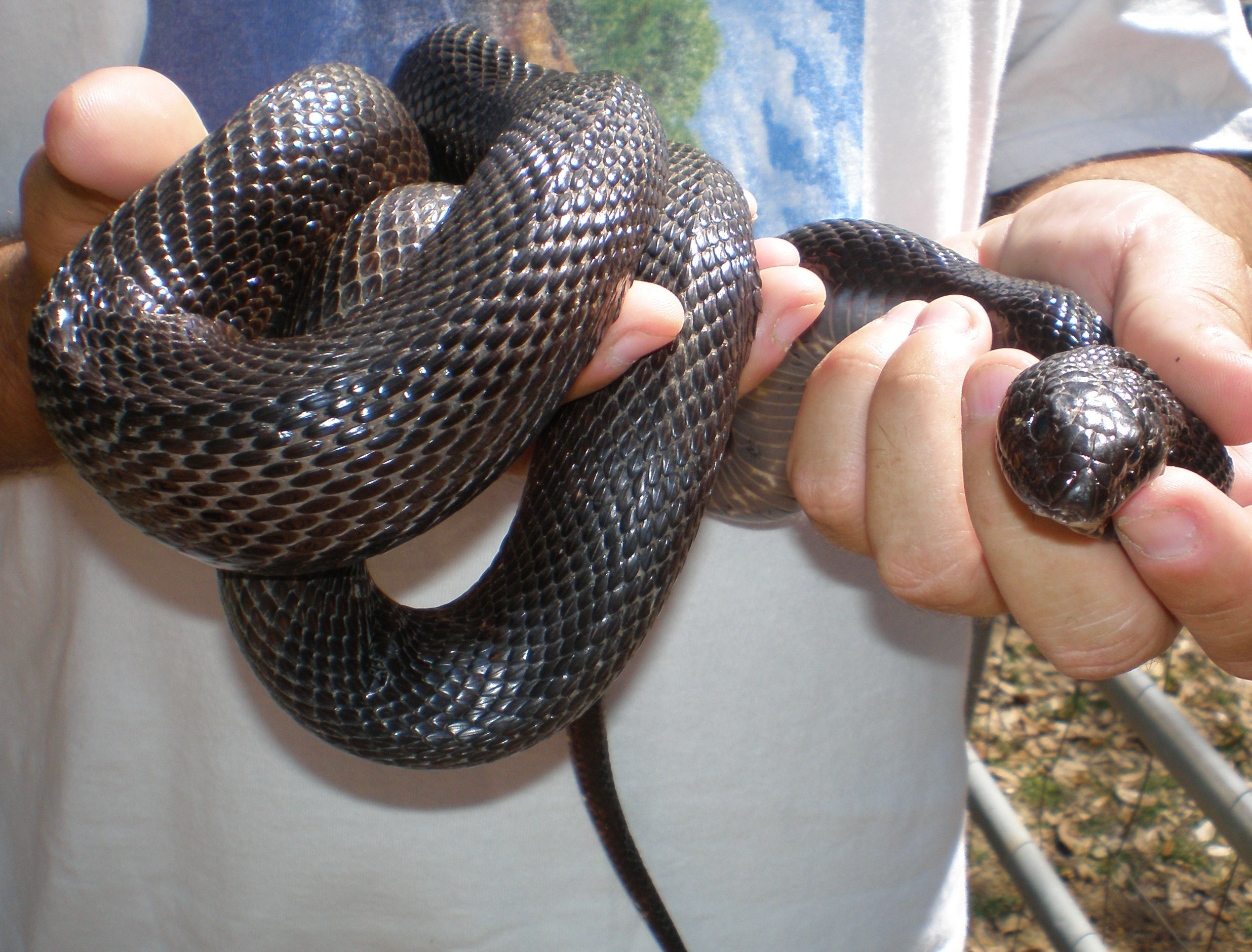 Black And Yellow Snakes In Alabama