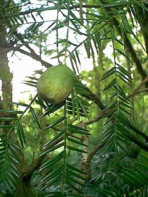 torreyafruit.jpg