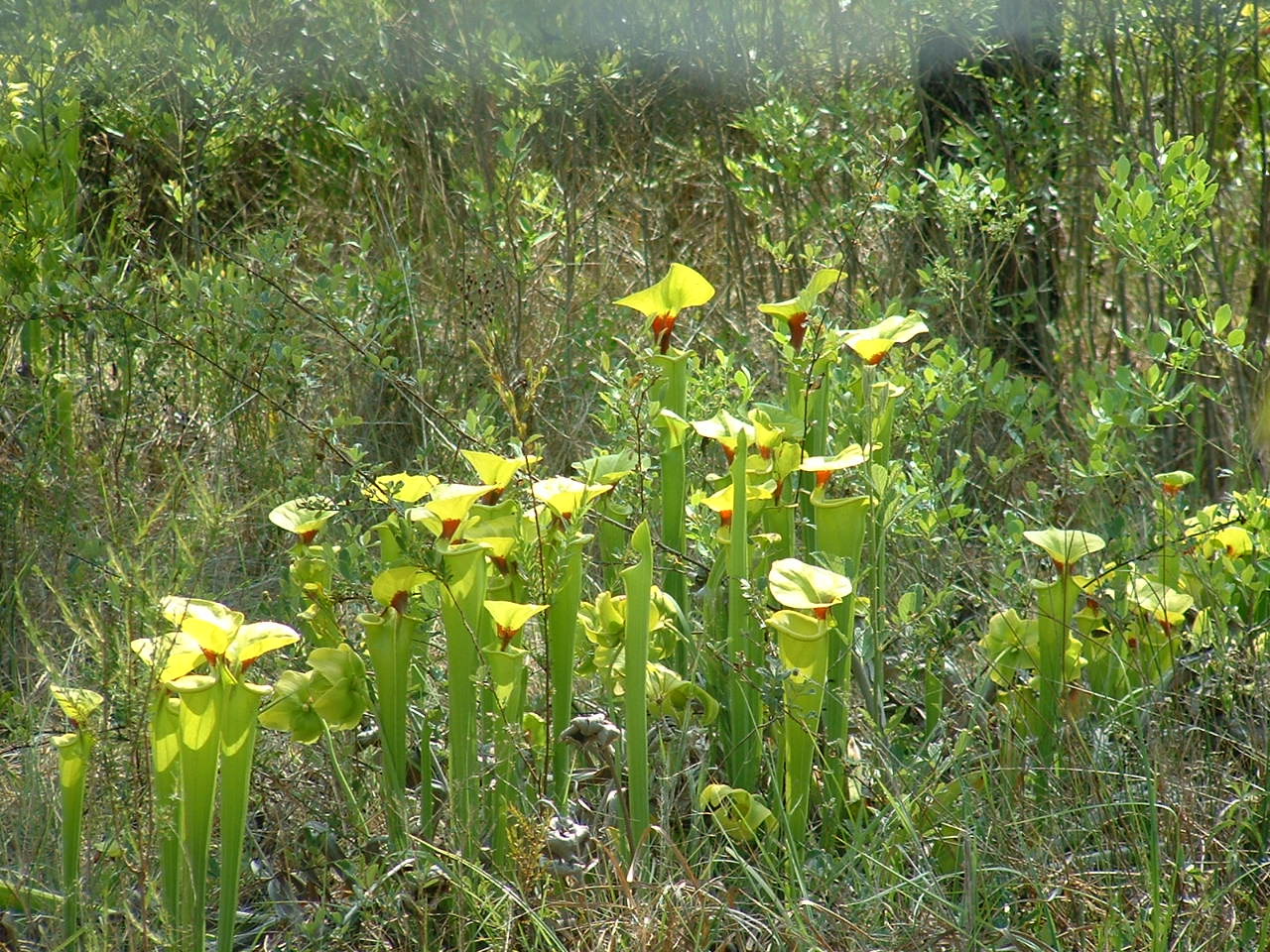 yellowpitcherplant.jpg